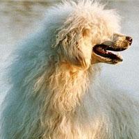 Portugalski pies dowodny