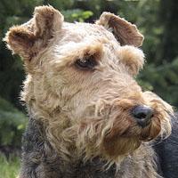 Terier walijski