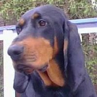 Black tan coonhound